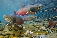 Photo of Lahontan trout swimming over rocks