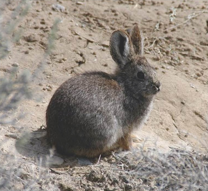 Photo of pygmy rabbit