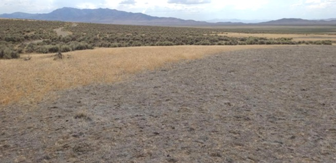Photograph of cheatgrass die-off